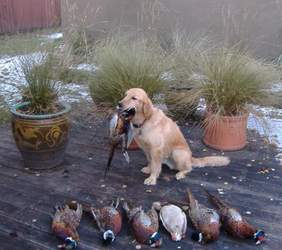 A very proud Cooper with his pheasants