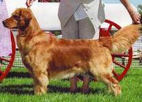 Golden Retriever image:  Can Ch Tasmara One Furr The Money