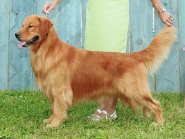 Golden Retriever image:  Tasmara C Me Fly